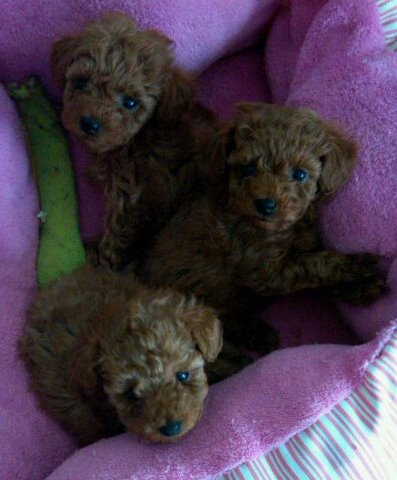 Puppies  Adoption on Poodle Puppies Available For Adoption